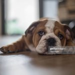 Cute English Bulldog Puppy High Res Stock Photo Getty Images