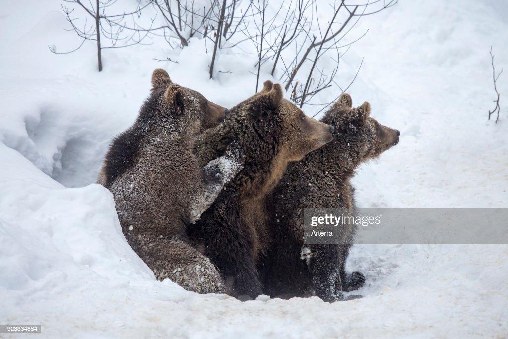 Cubs Christmas Two Bear