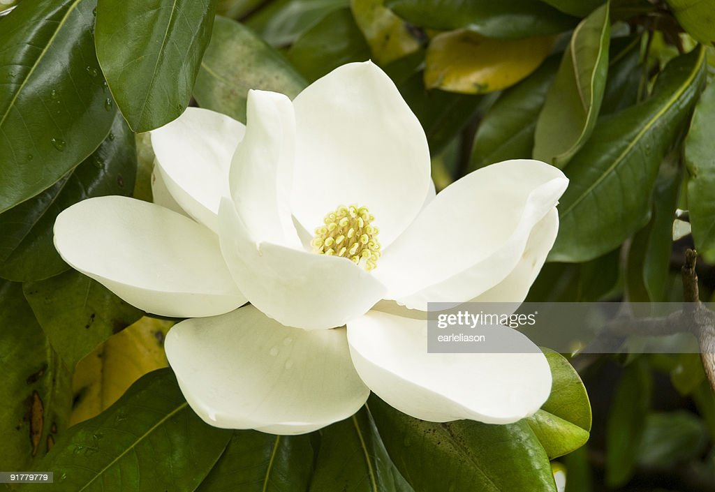 Worlds Best Magnolia Stock Pictures Photos and Images
