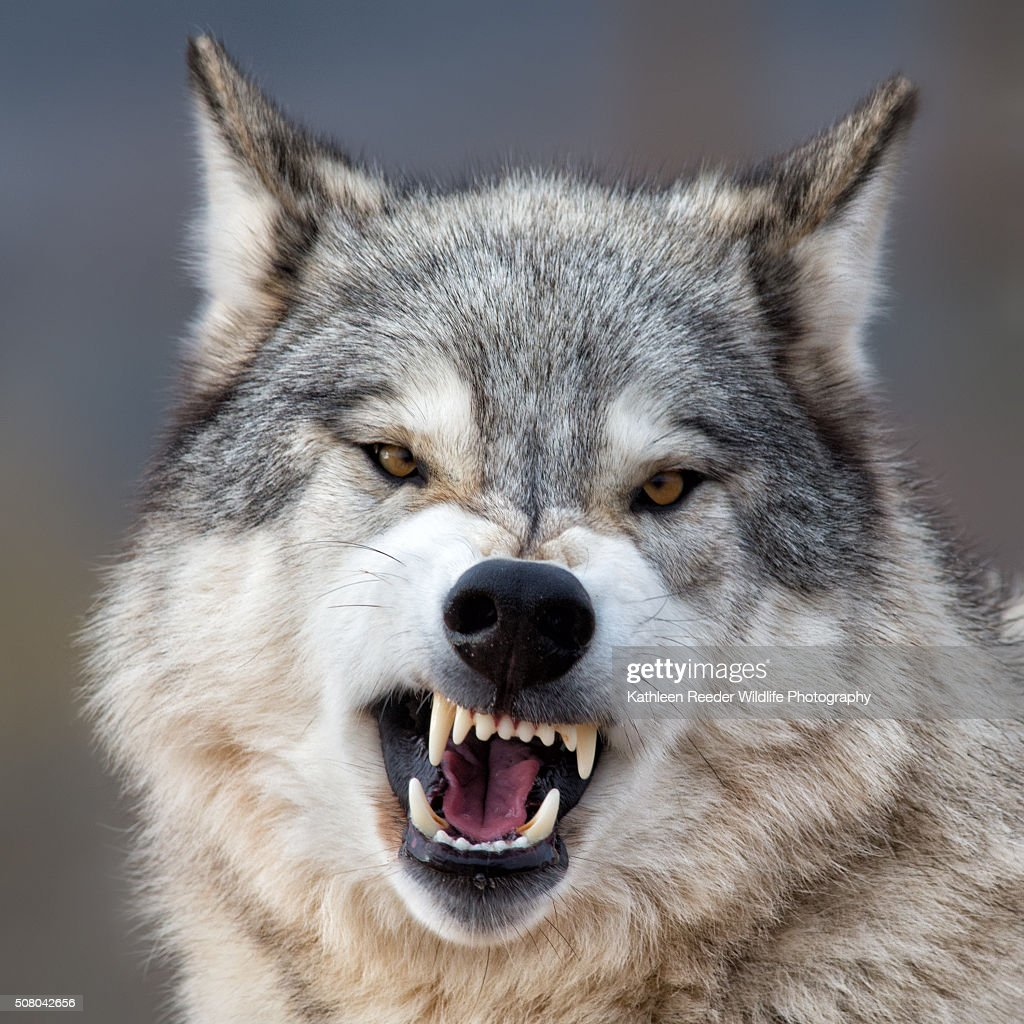 Worlds Best Wolf Stock Pictures Photos and Images