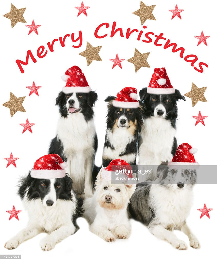 Group Of Four Border Collies And One Westie Dog Christmas
