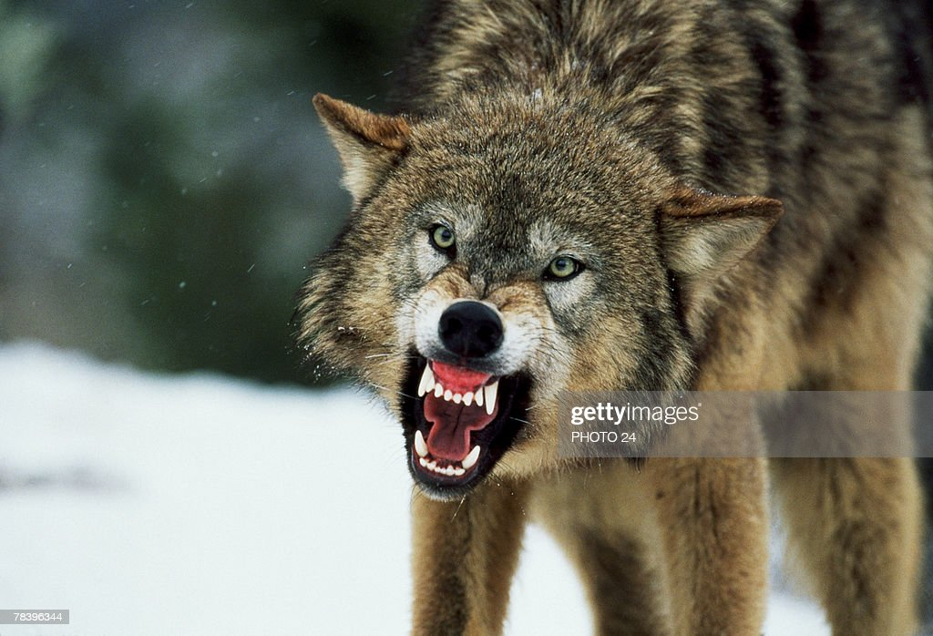 Wolf Stock Photos And Pictures Getty Images
