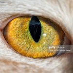 The Eye Of A Domestic Cat Foto De Stock Getty Images