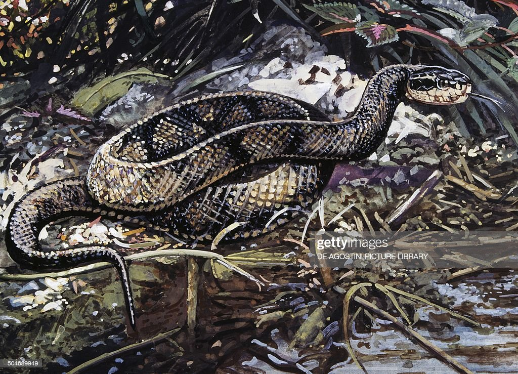 Cottonmouth Water Moccasin Snake Stock Photos And Pictures