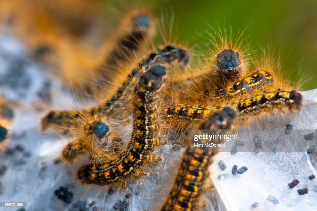 The small caterpillars crawl down the branch to a branch crotch. Tent Caterpillar Bildbanksfoton Och Bilder Getty Images