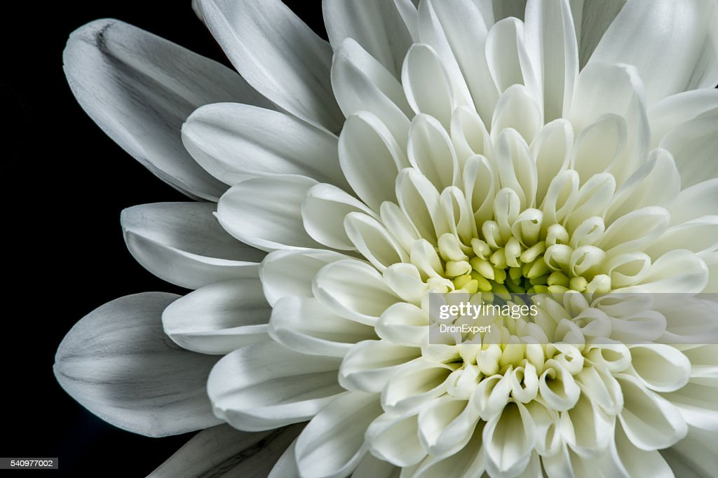 Free white flower black background Images  Pictures  and Royalty         black background  White dahlia