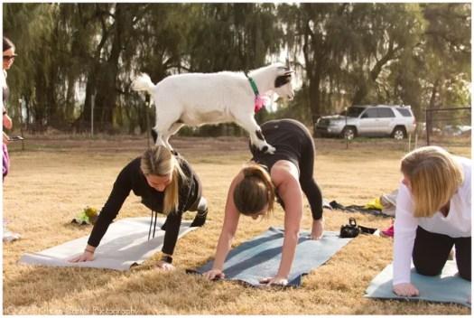 Image result for goat yoga