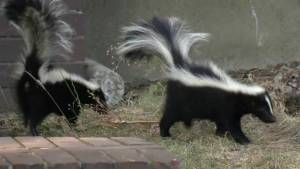 Gruesome discovery of mutilated skunks sparks SPCA investigation
