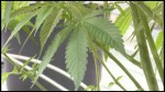 Cobourg survey on cannabis retail store