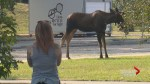 Moose seen on the loose for the second day in Calgary