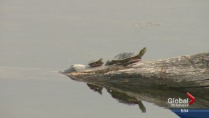 Okanagan Western Painted Turtles threatened by non-native species