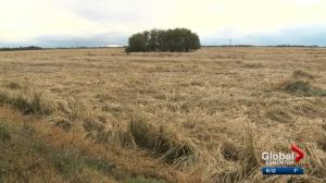 2 Alberta counties declare states of agricultural disaster