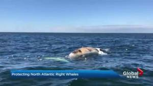 Researchers discuss how to protect North Atlantic Right Whales