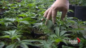 Legal marijuana could be a reality for Atlantic Canada before the end of 2017