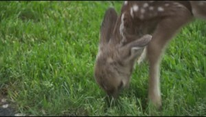 Leave the fawns alone