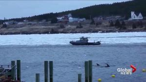 Volunteers free pod of dolphins from icy NL harbour
