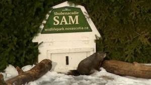 Groundhog Day: Shubenacadie Sam declares an early spring