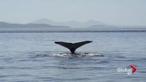 Drones helping humpback whale research