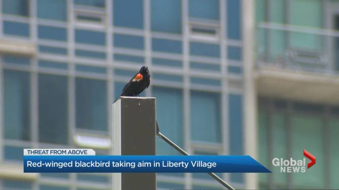 Red-winged blackbird attacking pedestrians in Liberty Village