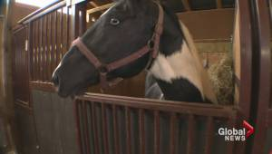Horse with award-winning lineage among those rescued from Ontario farm