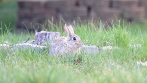 How to spot a rabbit nest before mowing your lawn