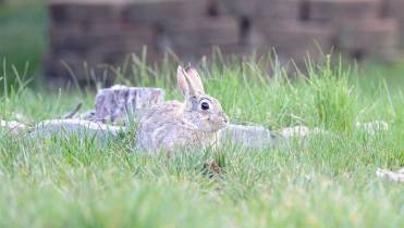 How to spot a rabbit nest before mowing your lawn - National