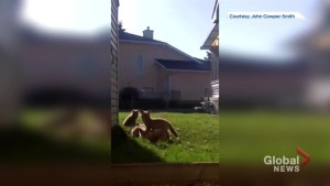 Okotoks man catches adorable foxes on video