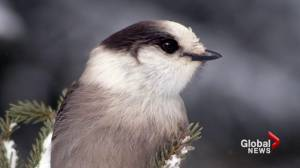 The Gray Jay beats the common loon to become Canada's national bird