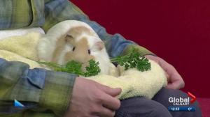 Calgary Humane Society Pet of the Week: G. Pig