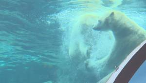 Saying goodbye to two of Winnipeg's most well known celebrities, Hudson and Humphrey the polar bears