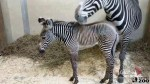 Toronto Zoo welcomes baby zebra