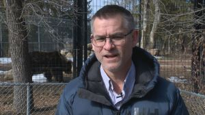 Saskatoon zoo's grizzly bears out of hibernation