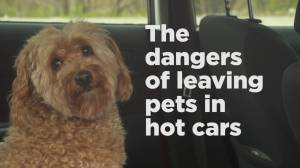 The dangers of leaving pets in hot cars