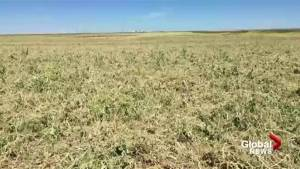 Thunderstorms costly for southern Alberta farmers