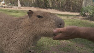 Capybaras eat bananas at Kelowna animal farm
