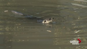 Experts being called in to help capture rogue Vancouver otter