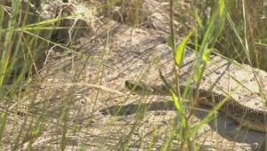Number of snakes killed on roadways has doubled in Lethbridge