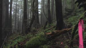 Plan to allow logging of old growth forests draws criticism