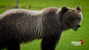 Bear 148 killed in B.C.