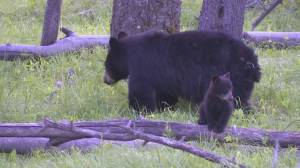 Staying safe in bear and cougar country