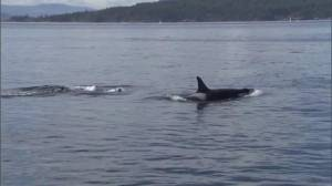 'J50' orca spotted with her pod off coast of Port Renfrew
