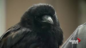 Canuck the Crow 'proud' to be a federally protected bird
