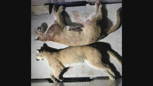 Conservation officers forced to put down two cougars