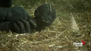 Gorilla news from the Calgary Zoo