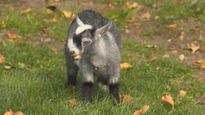 Edmonton seeking Goat Coordinator
