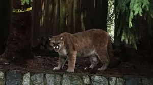 Family captures close encounter with three cougars in Coquitlam backyard