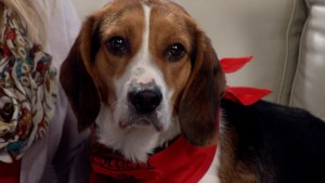 Meet Sully, a 3 year old  Beagle who's looking for a forever home