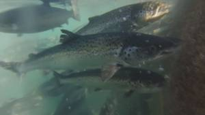 Federal court rules not screening B.C. farmed salmon for virus is unlawful