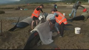 More than 200 new pods of whales beached in New Zealand