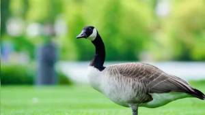 Denver culling Canada geese, donating meat to 'needy families'